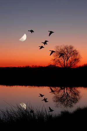 Wilde ganzen Flying tegen maan in Majic uur zons ondergang, reflected in rustig, Still Pond