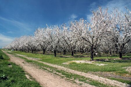 Almond Orchard In Bloom Under Springtime Skies Banco de Imagens