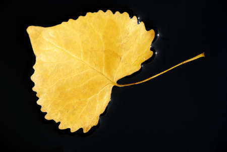 Yellow Cottonwood Leaf Floating in Black Water, With Hot Sun Spots at Edge of Faint Leaf Shadow