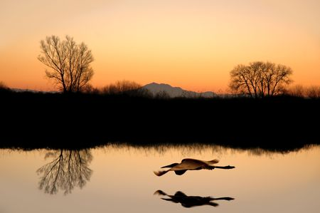 lake diablo: Silhouetted Tree Mirror Reflections,Flying White Egret, and Golden Sunset with Muted Tones Stock Photo