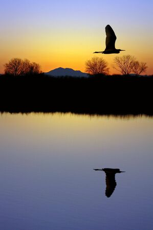 san joaquin valley: Golden Silhouette of White Egret Flying Over Wildlife Pond