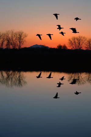 california delta: Reflection of Winter Evening Geese Flying over Wildlife Pond, San Jaoquin Delta, California Flyway