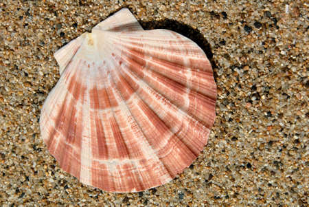 bivalve: Bivalve Lions Paw Seashell on Sand in Sunshine Stock Photo