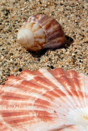 prespective: Prespective of Lions Paw and Periwinkle Seashell on Sand in Sunshine