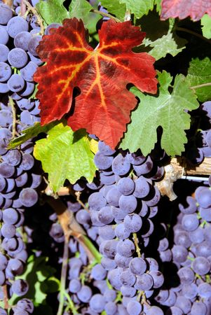 Red Grapes at Harvest Time Stock Photo - 2026173