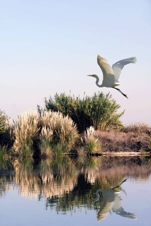 california delta: Great White Egret In Flight over San Joaquin Delta Wildlife Pond