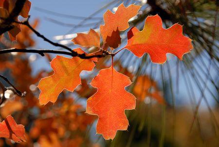 ponderosa pine winter: Autumn Red Oak Leaves and Ponderosa Pine Needles, Sierra Nevada