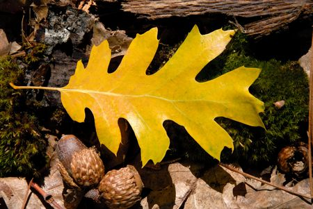 Detail of fallen oak leaf on forest floor. photo