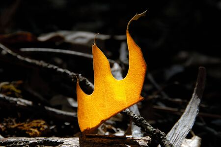 Flaming detail of fallen oak leaf on forest floor. photo