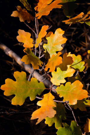 Orange oak leaves in autumn. photo
