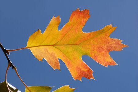 Detail of autumn oak leaf against bright blue sky. photo