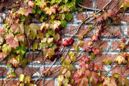 Background image of ivy league vines on old brick wall.