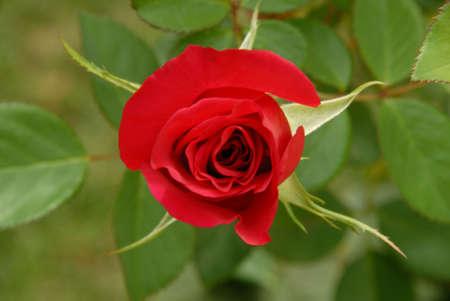 rose bud: Dettaglio Tight di rosso bocciolo di rosa su sfondo verde
