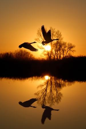 gansos: �rbol reflejado de Riparian y gansos canadienses en puesta del sol de oro