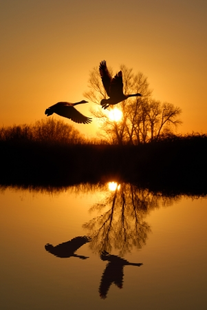 Reflected Riparian Tree and Canadian Geese in Golden Sunset Stock Photo - 2601772