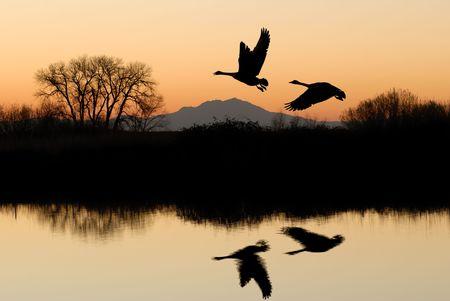 黄金の夕日に河岸の木とカナダのガチョウを反映 写真素材