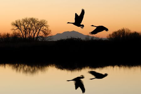 migrating animal: Reflected Riparian Tree and Canadian Geese in Golden Sunset