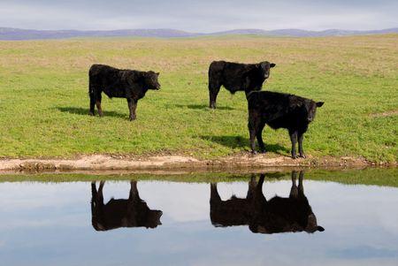Trío de negro gama vacas Angus reflejado en el estanque bajo la occidental Skys