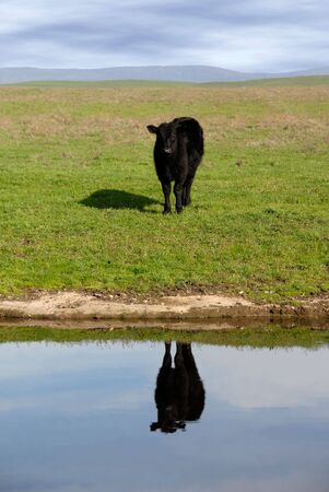 black angus cattle: Black Angus Range Cow Reflected in Pond Under American Western Skys Stock Photo