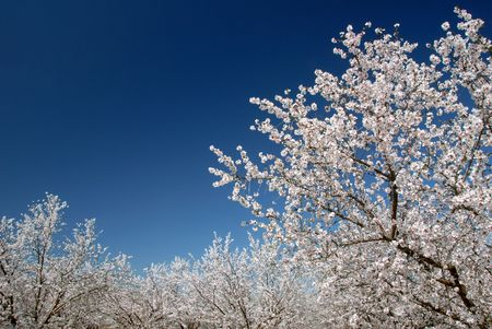 White Almond Blossoms Against Blue Spring Sky Like Snow Stock Photo - 2690555