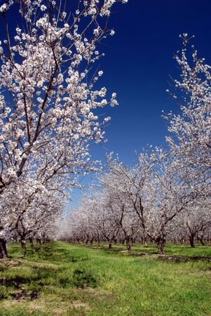 Orchard of White Almond Blossoms Against Blue Spring Sky Stock Photo - 2690565