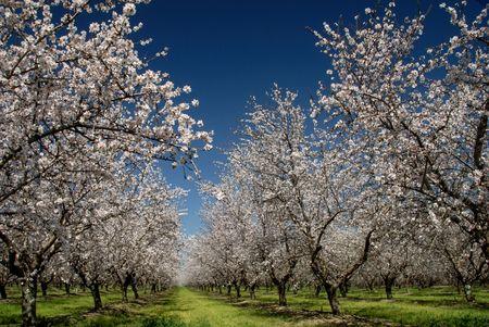 青い春の空を背景の白のアーモンドの花の果樹園