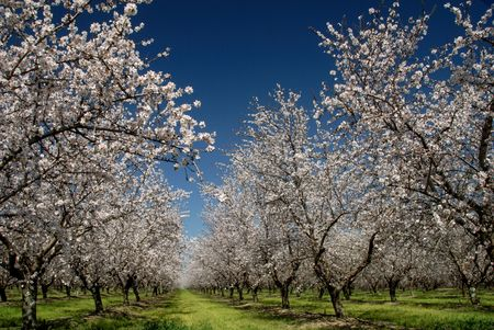 Orchard of White Almond Blossoms Against Blue Spring Sky Stock Photo