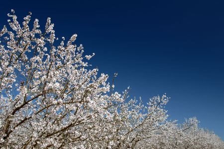 White Almond Blossoms Against Blue Spring Sky Like Snow Stock Photo - 2690518