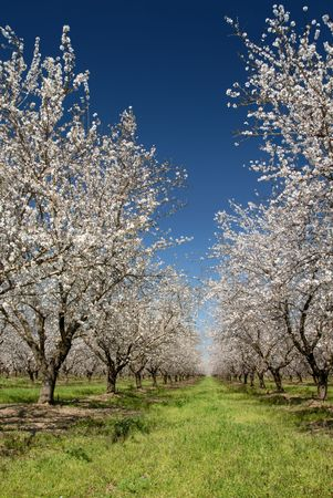 Orchard of White Almond Blossoms Against Blue Spring Sky 写真素材