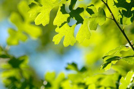 Selective Focus Camouflage Pattern of Spring Green Oak Leaves Against Blue Sky Standard-Bild