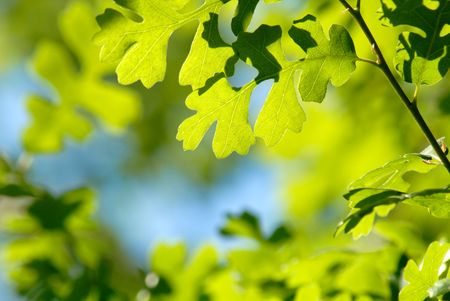 Selective Focus Camouflage Pattern of Spring Green Oak Leaves Against Blue Sky Stock Photo