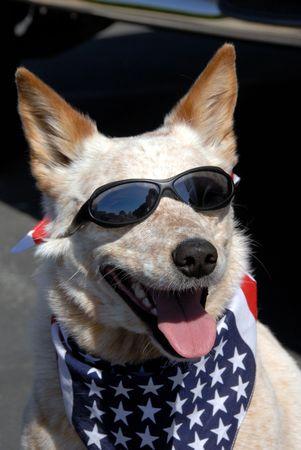 ポンド アメリカ国旗のバンダナを身に着けてすべてのアメリカの犬を救出し、太陽のメガネに備える 7 月 4 日パレード 写真素材