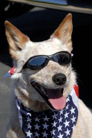 parades: Pound Rescued All American Dog Wearing American Flag Bandana and Sun Glasses Ready For The July 4th Parade Stock Photo