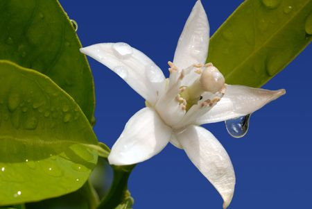 White Orange Blossom with Water Drop in Full Bloom Against Blue Sky