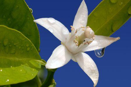 水でオレンジの白い花が青空満開ドロップします。