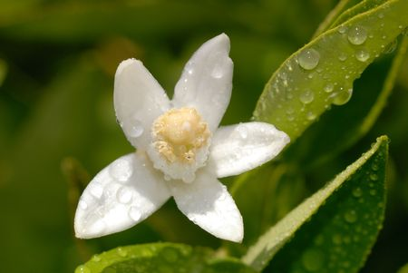 White Orange Blossom with Water Drops in Full Bloom Against Green Leaves Stock Photo