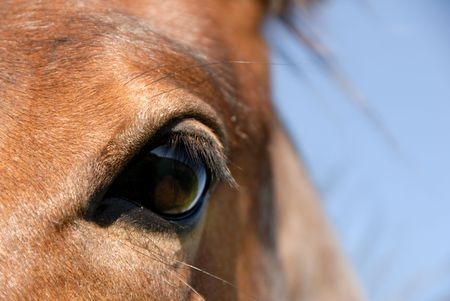 cutting horse: Closeup eye of the young strawberry roan, cutting horse bred
