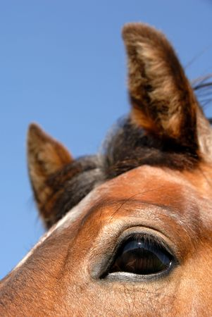 Closeup of the young strawberry roan, cutting horse\ bred