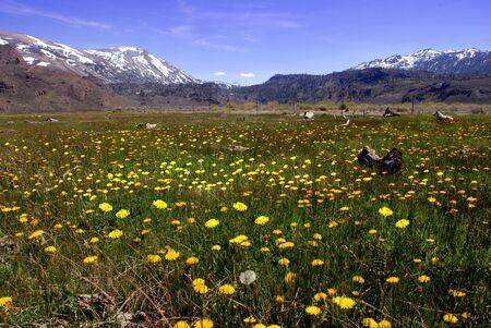 dandelion snow: Meadow of Yellow Springtime Dandelions in the Sierra Nevada range of California
