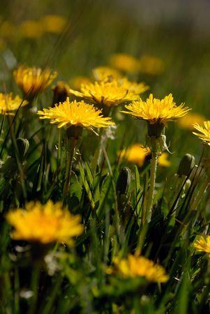 Macro closeup of Yellow Springtime Dandelions in the Sierra Nevada range of California