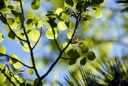 Selective Focus Spring Green Aspen Leaves and Pine  Needles Against Blue Sky photo