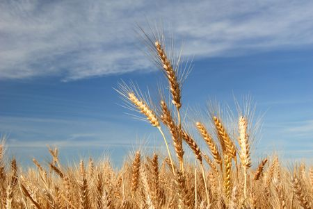 commodities: Ripe Wheat Detail Against Blue sky