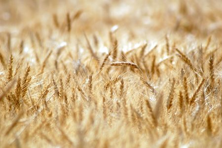 Ripe Wheat Detail With Extreme Selective Focus  Stockfoto