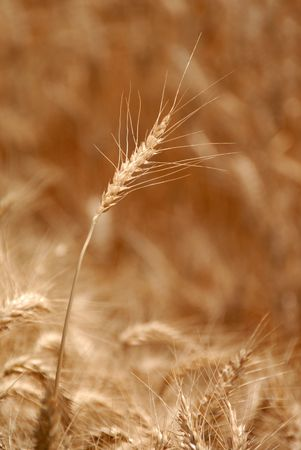 Ripe Wheat Detail With Extreme Selective Focus  Stock Photo