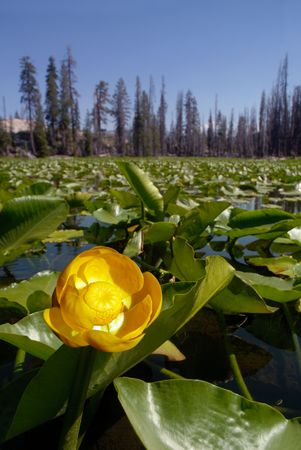 Yellow Water Lilies in Sierra Nevada Wilderness Lake photo