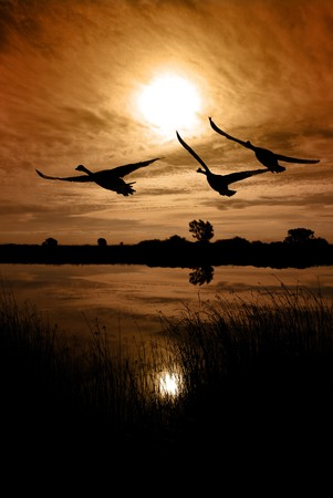 Sun, sky, and extreme silhouetted Canadian Geese over wildlife lake, reeds in foreground, sepia toned, San Joaquin Delta Stock Photo - 4367415