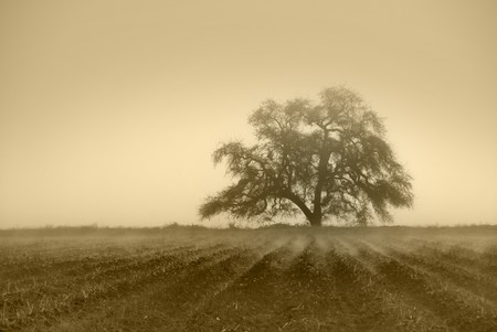 san joaquin valley: Muted sepia oak tree in Winter fog, cultivated farm land in foreground with fog in furrows Stock Photo