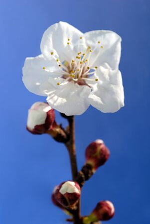 Almond blossom against blue background