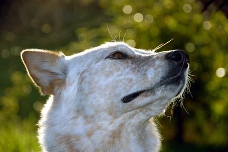 red heeler: Portrait of happy Red Heeler (healer), American bred Australian Cattle Dog