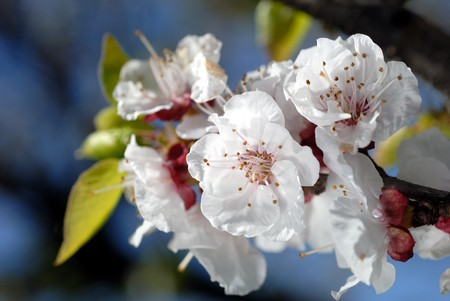 Almond blossoms against blue sky, shallow DOF Banco de Imagens